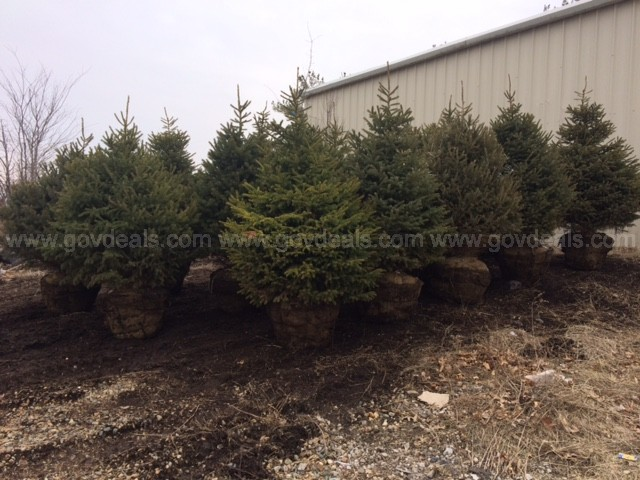5.5' BNB Black Hills Spruce Tree